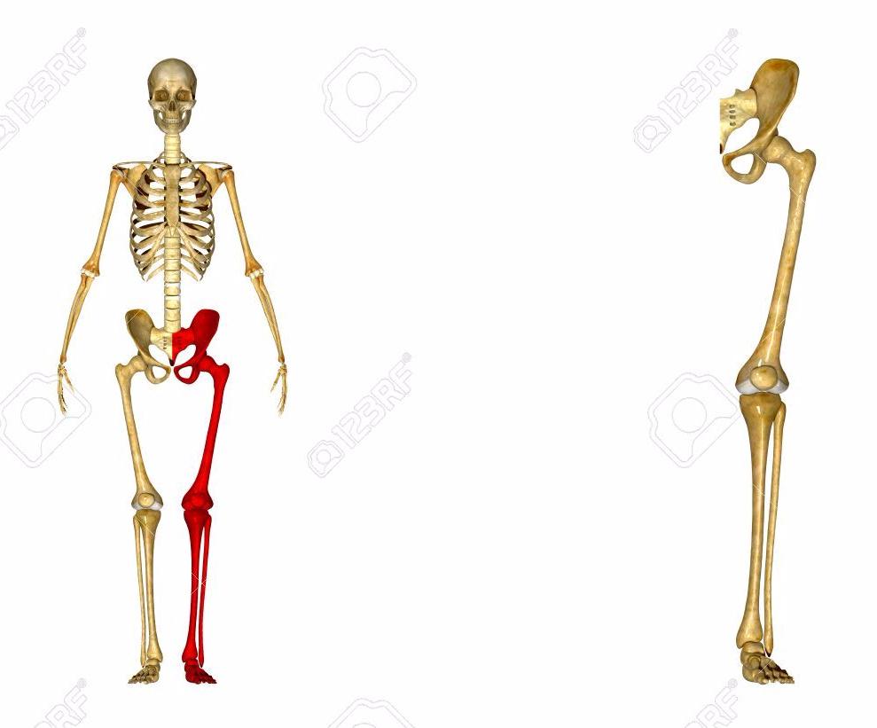 Huesos y musculos miembro inferior